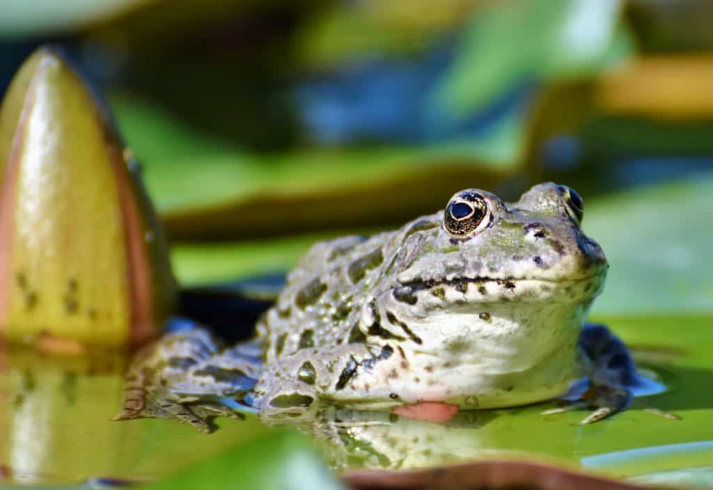 A frog resting on a lilly pad.  Eat the frog quote from Mark Twain